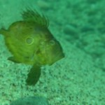 【動画】マトウダイの幼魚、出ました!