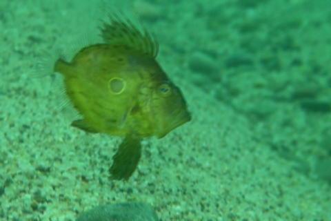 マトウダイ幼魚