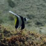 日本海・佐津ビーチにハタタテダイの幼魚がいます!