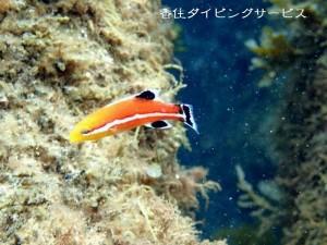 コブダイ稚魚